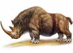 Woolly rhinoceros draw