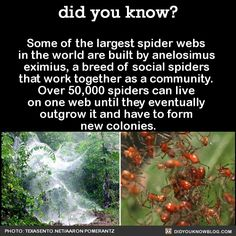 Some of the largest spider webs in the world are built by anelosimus eximius, a breed of social spiders that work together as a community. Wtf Fun Facts, Funny Facts, Crazy Facts, Random Facts, Did You Know Facts, Things To Know, Unusual Facts, Interesting Facts, Strange Facts