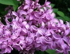 Lilac Fragrance Oil #fragranceoil #fragrance oils #indigofragrance #lilac
