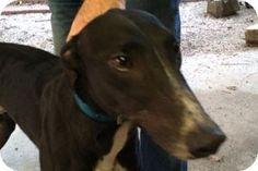 Pearl River, LA - Greyhound. Meet Cartman, a dog for adoption. http://www.adoptapet.com/pet/11283725-pearl-river-louisiana-greyhound