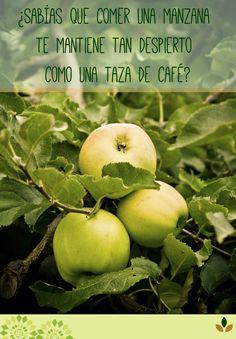 Ademas, la manzana posee un bajo índice glucémico, es decir, que ingerir manzanas no produce una subida brusca de glucosa, por eso el perfil de absorción es más lento y adecuado. #CBSalud ^VO