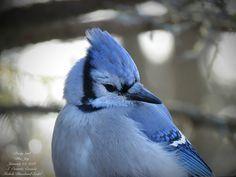 Pretty Girl, Blue Jay S. Ontario, Canada  Michele Blanchard-Seidel