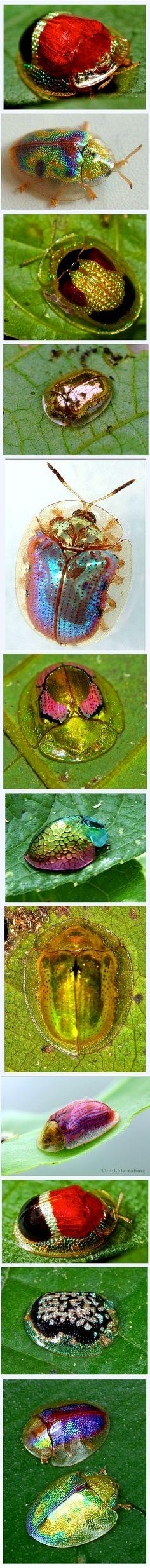 Tortoise Beetles - collage