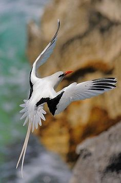 White-tailed Tropicbird or Bermuda Longtail - tropical Atlantic, western Pacific and Indian Ocean Kinds Of Birds, All Birds, Birds Of Prey, Love Birds, Pretty Birds, Beautiful Birds, Beautiful Pictures, Tier Fotos, Mundo Animal