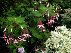 Perennial fuchsia ('Christmas' I think!) & stonecrop
