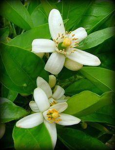 Flores de naranjo, de ellas se extrae el azahar o aceite de neroli. Tranquiliza y equilibra la mente!