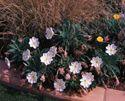 Tufter evening primrose - AZ hground cover, spring to fall