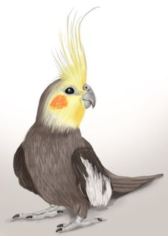 Cockatiel is a family member of Cockatoo and are mostly found in Austrailia. The… – Cockatiel Bird Drawings, Animal Drawings, Drawing Animals, Watercolor Bird, Watercolor Paintings, Funny Bird, Parrot Drawing, Australian Birds, Color Pencil Art