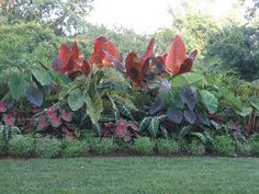 Plant summer bulbs such as caladiums, dahlias, cannas and elephant ears. Plant summer bulbs such as caladiums, dahlias, cannas and elephant ears. Elephant Ear Plant, Elephant Ears, Tropical Backyard, Tropical Landscaping, Garden Bulbs, Shade Garden, Exotic Plants, Tropical Plants, Tropical Gardens