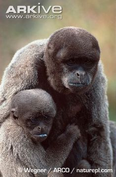 gorilla zsírégető