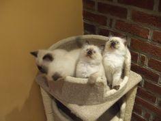 Ragdoll Cat Mixed Breed - #ragdollcatbreeds -Tops Cat Breeds at Catsincare.com!