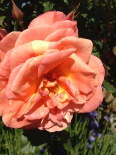 """Buskrosen """"Westerland"""" - min favorittrose / My favorite rose """"Westerland"""" / By IJ 14.6.14"""