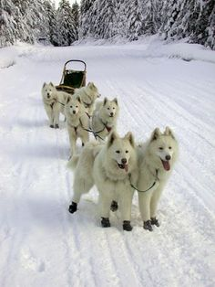 sled dogs breeds