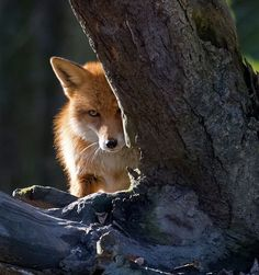 Red Fox by Claude Lauper on 500px