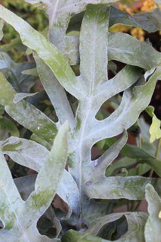 samambaia azul / Blue Star / Blue Rabbit's Foot Fern for sale buy Phlebodium pseudoaureum ??