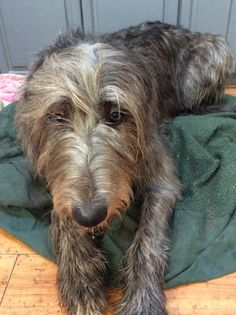 Clu' waiting to eat. Irish Wolfhounds, Clu, Gentle Giant, Waiting, Creatures, Boys, Animals, Baby Boys, Animales