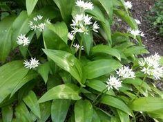 Nicio o altă plantă pe pământ nu este la fel de eficace în curățirea stomacului, intestinelor și sângelui ca leurda. Cei care se simt mereu bolnavi și palizi, care merg mereu pe la doctori, reumaticii, scrufuloșii, cei cu tenul făinos, erupții pe piele sau eczeme, ar trebuie să consume mai des leurdă. Home Remedies, Natural Remedies, Allium, Garden, Healthy Recipes, Weed, Medicine, Movie, Home