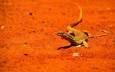 Monitor Lizard in Australia's Outback