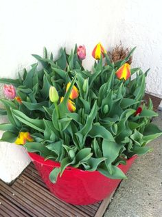 Tulipes jardin KLLM