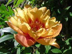 misaka Beautiful Blossom Itoh peony - Google Search