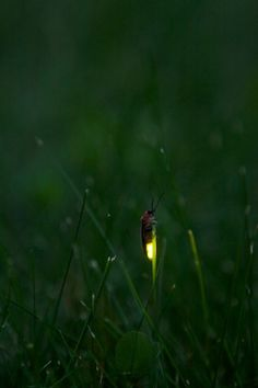 a memory from 'all' my life...lightening bugs on a blade of grass