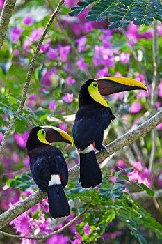 Two Chestnut-mandibled (Gran Currare) Toucans, Costa Rica