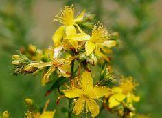 KANTARION: Lekovita biljka koja leči svaku boljku