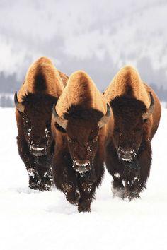 A trio of majestic bison