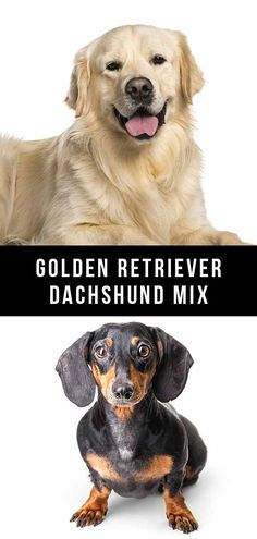 The Golden Retriever Dachshund mix is a cross between two really popular breeds. But are there any issues to be aware of in this unique mix? Dachshund Mix Puppies, Dachshund Rescue, Golden Retriever Rescue, Medium Sized Dogs, Mixed Breed, Dog Quotes, Dog Breeds, Articles, News