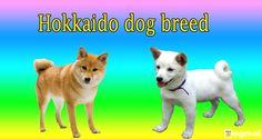Hokkaido dog is also known as Katana the Hokkaido Ken. it's a Japanese import The Hokkaido is a great hunter as well as loveable and loyal pet.