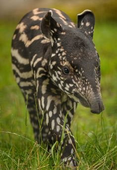 A Malayan Tapir calf, named Solo, has taken his first steps outside at Chester Zoo.  Solo, born July 11, was named after the longest river on the Indonesian island of Java. Zoo staff reports that he 'reveled' in his very first outdoor adventure, under the watchful eyes of his mum Margery.