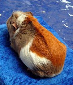 Морская свинка породы Риджбек - Ridgeback Guinea pig