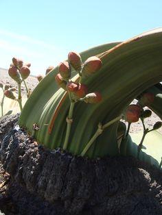 A female Welwitschia Mirabilis -