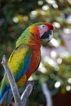 Shamrock Macaw