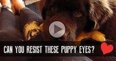 Can You Resist These Puppy Eyes? - http://dailydognews.com/puppy-eyes/#utm_sguid=154165,b0dd3651-8be2-8c68-4398-27c904a3eae4