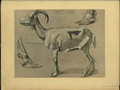 Chèvre - ID: 102267 - NYPL Digital Gallery