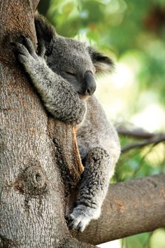 Photo about Koala Bear sleeping in a tree with a green leafy blurred background. Image of hugging, sleeping, cute - 3733829 Animals And Pets, Baby Animals, Cute Animals, Wild Animals, Happy Australia Day, Australia Travel, Australian Animals, Tier Fotos, Animals Beautiful