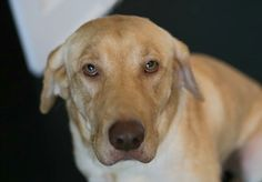 San Antonio,. TX- Lemon Drop 2014 Breed Labrador Retriever Gender Spayed Female Age 9/2/2013 Weight 52 lbs Good With Dogs Yes Good With Children Yes Good With Cats Unknown Microchipped Yes Vaccinations Up To Date Yes