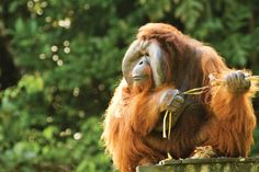 4. BORNEO (INDONESIA) – ORANGUTAN ADVENTURE HOLIDAY TANJUNG PUTING  This unique Borneo trip combines the best of Tanjung Puting National Park's orangutan research stations and rehabilitation centres, with treks and camping deep in the Borneo rainforest http://pioneerexpeditions.com/index.php/orangutan-adventure-holiday-tanjung-puting-borneo-indonesia/