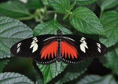 Heliconius erato emma (desde el norte de Brasil, por América Central, hasta México).Especie muy variable en color y forma. Difícil de distinguir de las demás especies de Heliconius , particularmente del Heliconius melpomene . Es una de las pocas mariposas que recoge y digiere el polen, confiriendo una longevidad considerable a los adultos (varios meses). Los adultos se posan en grupos, regresando al mismo lugar cada noche.