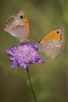 Maniola jurtina #butterflies