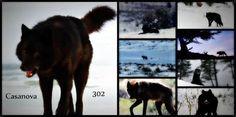 "Wolf 302 ""Casanova"" of Yellowstone National Park an incredible creature"