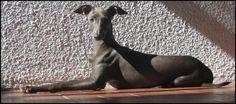 El Pequeño lebrel italiano o Galgo italiano (piccolo), es una raza de galgo de pequeño tamaño originaria de Italia. Es el galgo más pequeño.