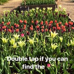 Our mini tulip festival is coming into bloom... Can you find the rogue tulip?  The gardens are open 10am - 5pm daily. #tulips #weekendvibes #gardensofinstagram #hampshiregardens