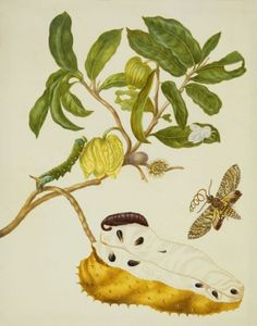 Prickly Custard Apple with Hawkmoth and Tussock or Flannel moth, and a larva of the Giant Sphinx Moth
