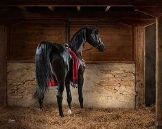Amazing arabien horse