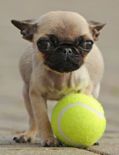 I'm a super puppy tennis ball player and serious :)