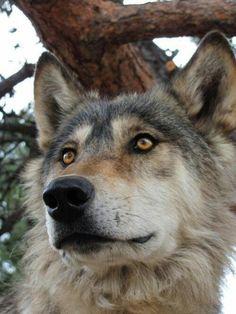 Beautiful wolf!
