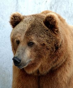 Brutus by Ann Dixon | Flickr - Photo Sharing! At the Montana Grizzly Encounter.