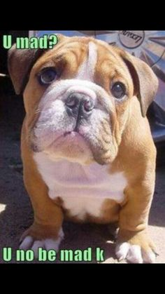 f5fa1ca4 English Bulldog Puppies, English Bulldogs, French Bulldogs, Bulldogs  Ingles, Cute Puppies,